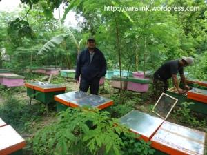 ternak lebah madu murni asli